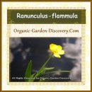 Lesser spearworth, Ranunculus flammula's small yellow flowers are in bloom