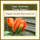 April blooming bright orange Tulips