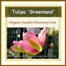 Tulipa viridiflora 'Greenland' is a charming green strips tulip with pink petals