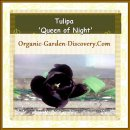 Tulipa-Queen of Night is a late flowering single