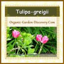 Early flowering tender soft pink tulips