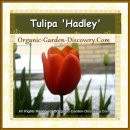 Orange large tulip can stand alone  in good form