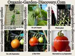 Upside down gardening sweet egg shaped tomatoes plant outdoor and harvest in summer