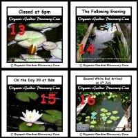 Water liliy blossom is closed in the evening when the sun is away